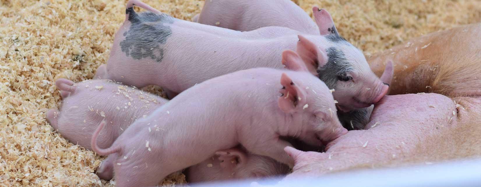 Leading european supplier of livestock equipment for pig housing